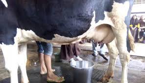 7 Manfaat Mengkonsumsi Susu Sapi Secara Rutin